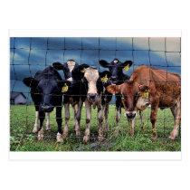 Cows Postcard