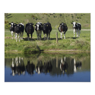 Cows reflected in canal, Henley, Taieri Plain, Print