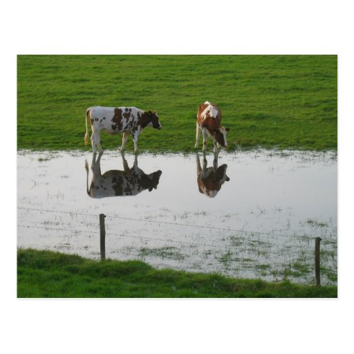 Cows Reflections in Water Postcard