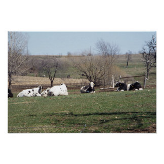 Cows Resting in the Fields Poster