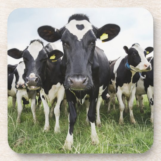 Cows standing in a row looking at camera beverage coaster