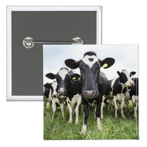 Cows standing in a row looking at camera button