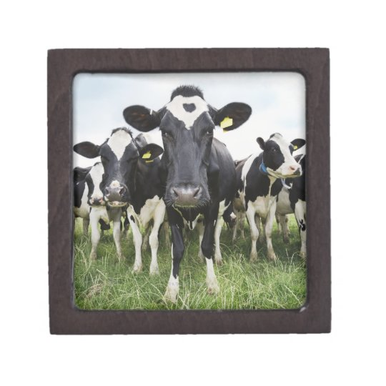 Cows standing in a row looking at camera gift box
