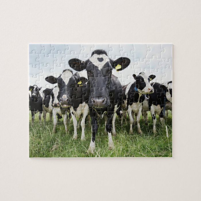 Cows standing in a row looking at camera jigsaw puzzle