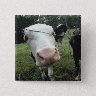 Cows standing in grass pasture, Nova Scotia, Button