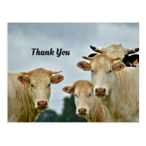 Cows Thank You Postcard