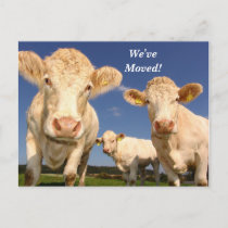 Cows We've Moved New Address Postcard