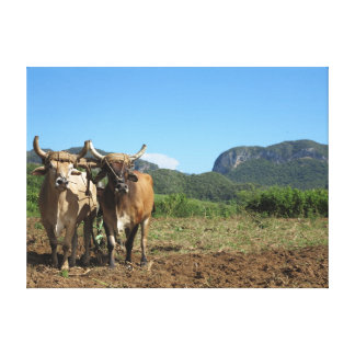 Cows with horns in Vinales in Cuba Canvas Print