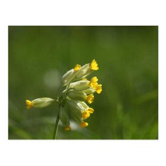 Cowslip común (veris del Primula) Postal