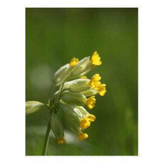 Cowslip común (veris del Primula) Tarjetas Postales