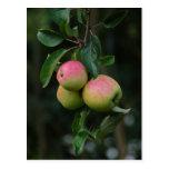 Cox Orange Apple Postcard