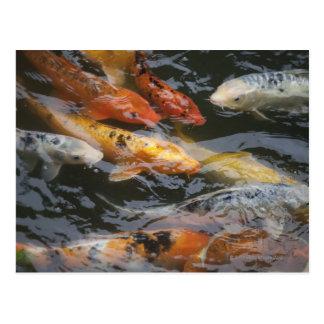 Coy Fish Postcard