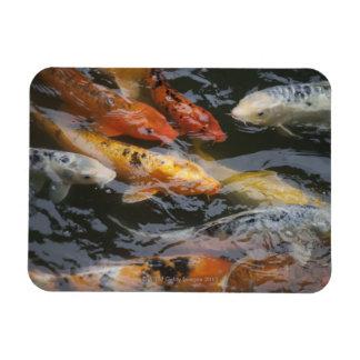 Coy Fish Rectangular Photo Magnet