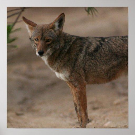 Coyote 009 impresiones
