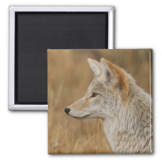 coyote 2 inch square magnet