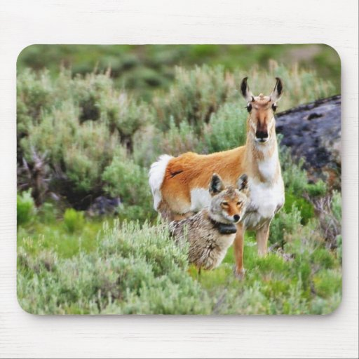 Coyote And Antelope In Yellowstone Park Mousepads