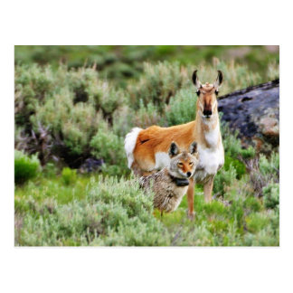 Coyote And Antelope In Yellowstone Park Post Cards