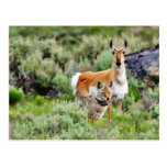 Coyote And Antelope In Yellowstone Park Postcard