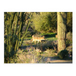 Coyote_at_dawn Postcard Postcard
