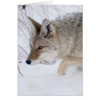 Coyote at Yellowstone National Park Card