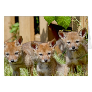 Coyote Babies Photo Greeting Card