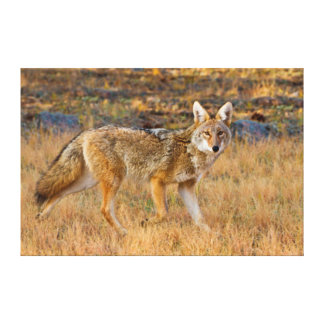 Coyote (Canis Latrans) Hunting Canvas Print