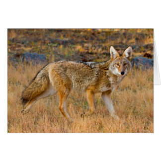 Coyote (Canis Latrans) Hunting Card