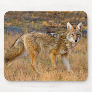 Coyote (Canis Latrans) Hunting Mouse Pad