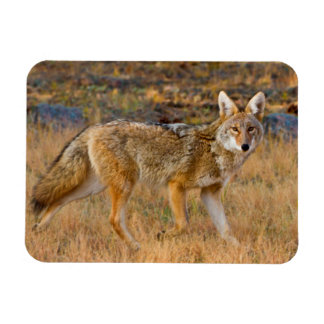 Coyote (Canis Latrans) Hunting Flexible Magnets