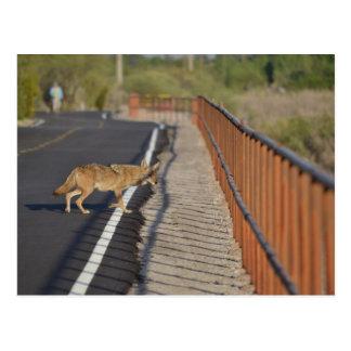 Coyote Crosses Road Postcard