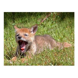 Coyote del bebé que bosteza postales