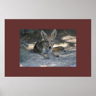 Coyote del desierto de Mojave Póster