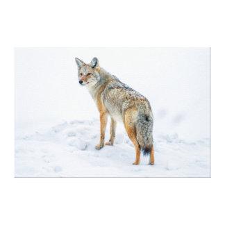 Coyote en alarma en nieve lona envuelta para galerias