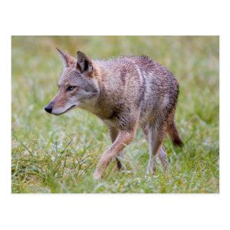 Coyote en el campo, ensenada de Cades Tarjeta Postal