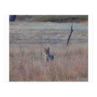 Coyote en el parque nacional de la cueva del postales