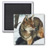 Coyote en nieve imán de frigorífico