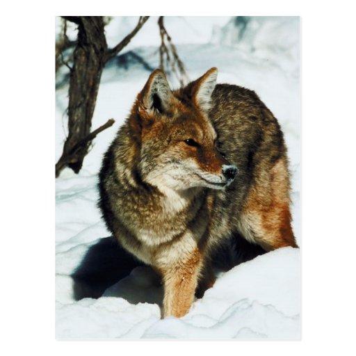 Coyote en nieve tarjeta postal