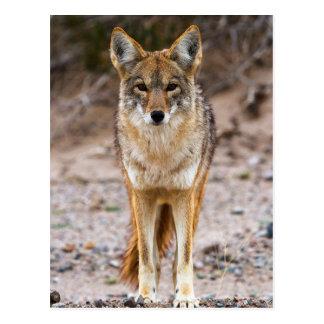 Coyote Encounter Postcard