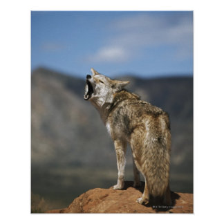 Coyote Howling From High Point Poster