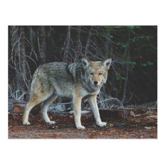 Coyote Hunting Postcard