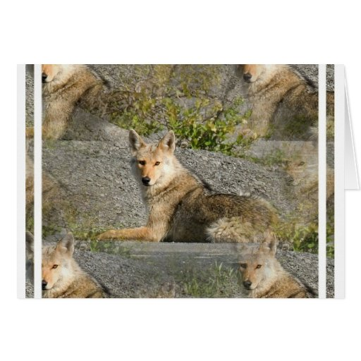 Coyote Images Greeting Card