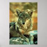 Coyote Impresiones