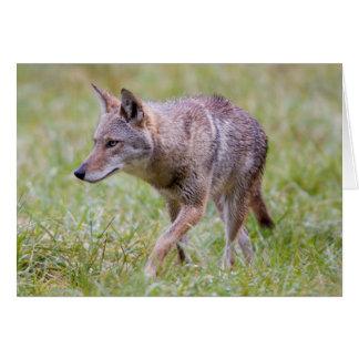 Coyote in field, Cades Cove Card