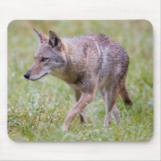 Coyote in field, Cades Cove Mousepad