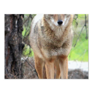 coyote in griffith park 003 card