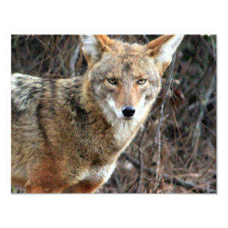 coyote in griffith park 005 card