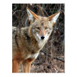 coyote in griffith park 005 postcard