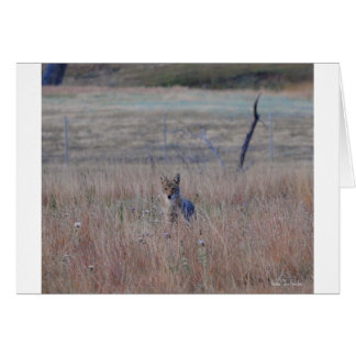 Coyote in Wind Cave National Park, South Dakota Cards