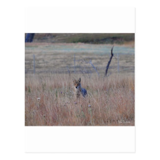 Coyote in Wind Cave National Park, South Dakota Postcards