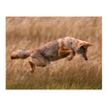 Coyote Leaping - Gibbon Meadows Postcard